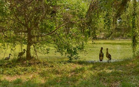 riverside tree: Flamingo couple in the jungle Stock Photo