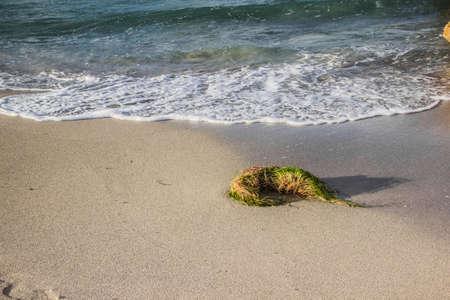 Gulfweed at the coast of Jibacoa Beach