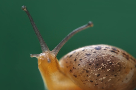slithery: closeup of snail in the garden Stock Photo