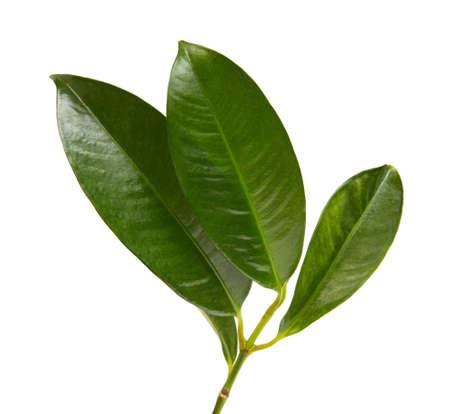 Mangosteen leaf isolated on white background