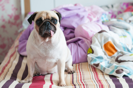 pug nose: Close-up cute dog Pug puppy sit on her bed and watching to camera Stock Photo
