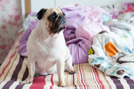 pug nose: Close-up cute dog Pug puppy sit on her bed and  look forward Stock Photo