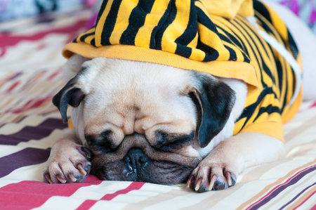 snot: Closeup of old sleeping pug puppy with snot of cold wear yellow Sweatshirt with Hood on bed