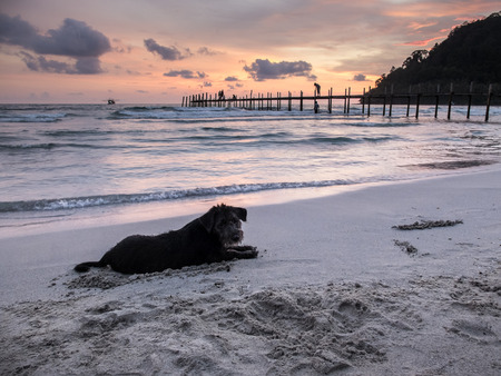 kood: Silhouette portrait of a black yorkshire terrier on the beach, playing by dig sand with perfect twilight sky, Koh Kood island, Thailand