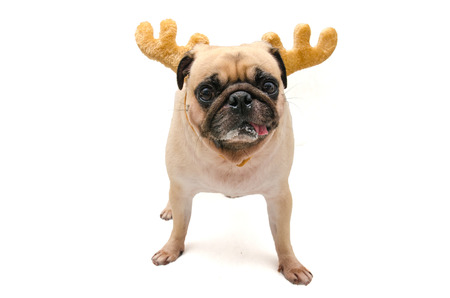 pet new years new year pup: Isolate close-up face of puppy pug dog wearing Reindeer antlers for christmas and new year party Stock Photo