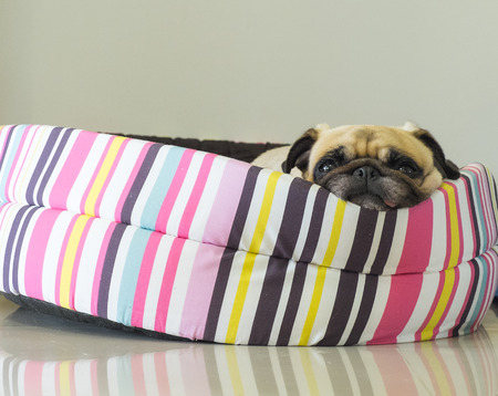 pug nose: Close-up cute dog Pug puppy resting on her bed and watching to camera Stock Photo