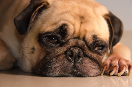 carlin: Close-up face lovely happy white fat cute pug dog rest sleep laying on the floor under warm summer sunlight making funny face with home. Stock Photo