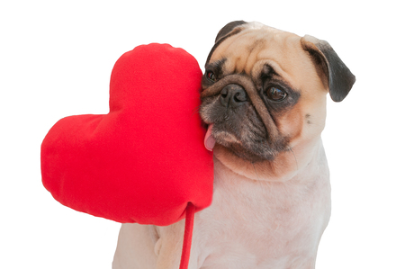 carlin: Happy Valentines day. Lonely cute Pug isolated with heart on white background.