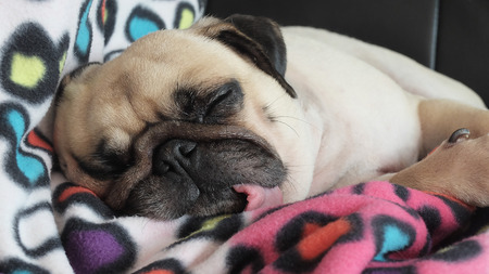 Close up face of Cute pug puppy dog sleeping on the bed