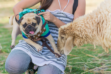 ewes: A small pug dog facing a sheep in a field.