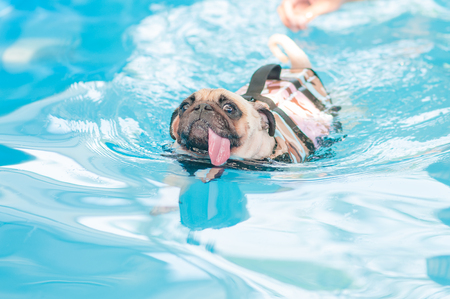 pug nose: a cute dog Pug swim at a local public pool with life vest