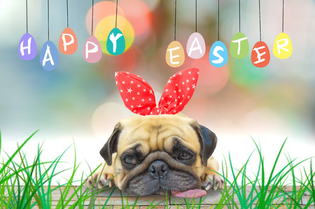 Happy Easter. A young cute dog puppy Pug wearing Easter rabbit Bunny ears sitting next to a pastel colorful of eggs. Archivio Fotografico