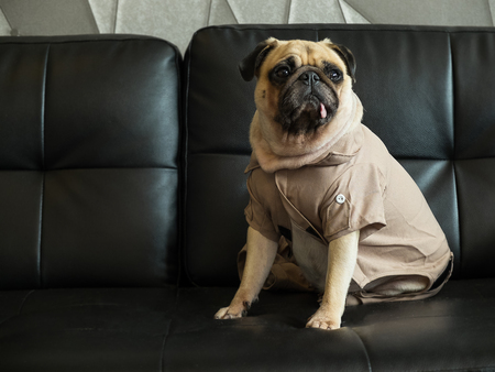 best shelter: Cute lonely dog puppy pug sad and sit on black sofa wait someone.