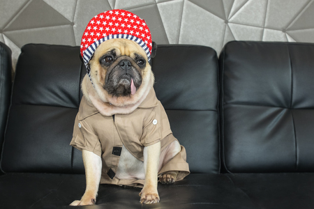 black rapper: Close-up cute dog pug bored with Hip Hop hat on black sofa in room look out side , tongue pacifier mouth with gray shirt ( like rapper )
