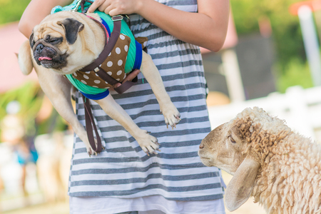 ewes: A small cute pug puppy dog facing and fear a sheep in a field. Stock Photo