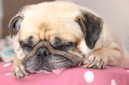 snot: Close up face of cute pug dog puppy sleeping rest with snot of cold