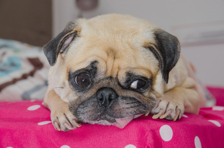 snot: Close up face of cute dog pug puppy sleeping with snot of cold and looking to someone