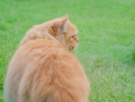 persia: Persia cat in meadow,in thailand Stock Photo