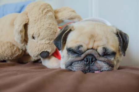 pug puppy: Close up face of Cute pug puppy dog sleeping on the bed have snot from cold near dog doll.