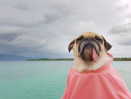 tongue out: Cute pug dog sleep rest by close eyes and tongue out on the sea beach ocean feel comfortable and wrapped body by human cloth Stock Photo