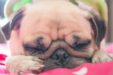 snot: Close up face of Cute pug puppy dog sleeping rest on bed with snot of cold Stock Photo