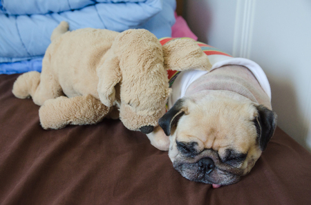 lean out: Close up face of cute dog puppy pug sleep rest tongue out with her brother dolls on bed