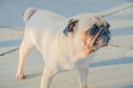 Cute dog puppy pug enjoys summer afternoon in park have drooling, snot and tongue out.