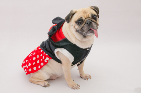 panting: Close up face of cute dog puppy pug with dress smile panting with tongue out and sit on floor against a grey background