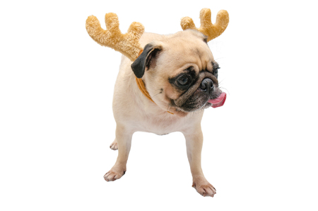 Isolate close-up face of puppy pug dog tongue sticking out wearing Reindeer antlers for christmas and new year party with clipping path