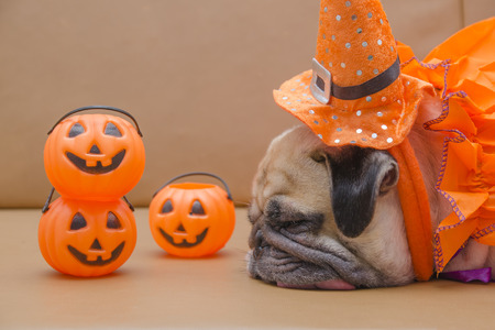 Cute pug dog with costume of happy halloween day sleep on sofa with plastic pumpkin Jack OLantern Stock Photo