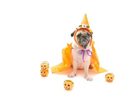 Funny Cute Pug Dog sitting and tongue sticking out with Happy Halloween day and pumpkin concept Stock Photo