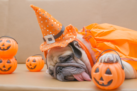 Cute pug dog with costume of happy halloween day sleep rest on sofa with plastic pumpkin Jack OLantern Stock Photo