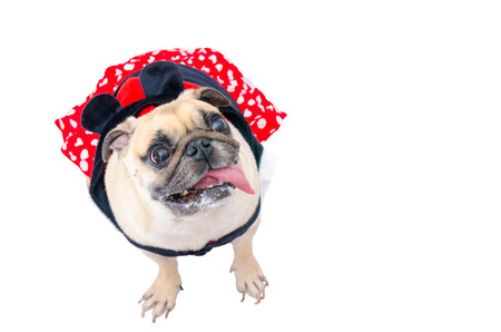 Close up face of cute dog puppy pug with mouse costume dress sit and looking to camera on isolated white background. (With clipping path)