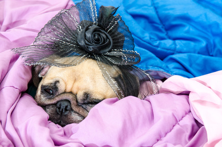 Cute pug puppy dog (Powderpuff variety) wearing a bridal veil and sleep rest on blanket in bed room
