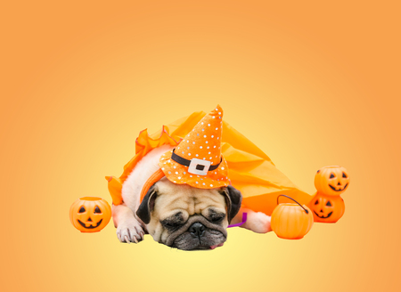 Cute pug dog with costume of happy halloween day sleep on sofa with the plastic pumpkin Jack OLantern