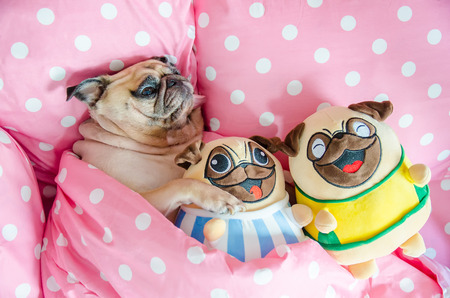 Attractive puppy pug dog sleeping rest well in bed hugging baby dolls. Animal resting, good night sleep concept enjoys fresh soft bedding linen and mattress in a bedroom