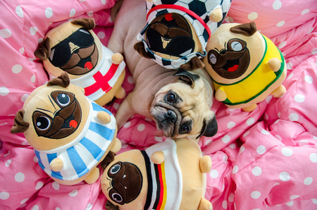 Cute pug dog sleeping rest on the bed, relax time with a lots of pug dolls Reklamní fotografie