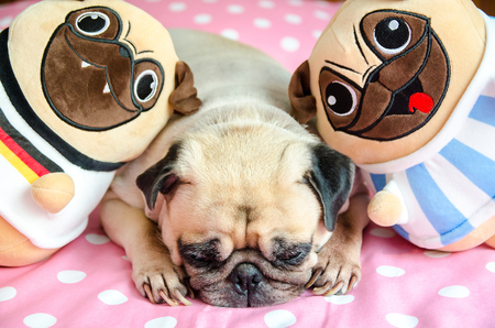 Close up face of cute dog puppy pug want to sleep rest, tongue sticking out and bored to play with toy dolls.