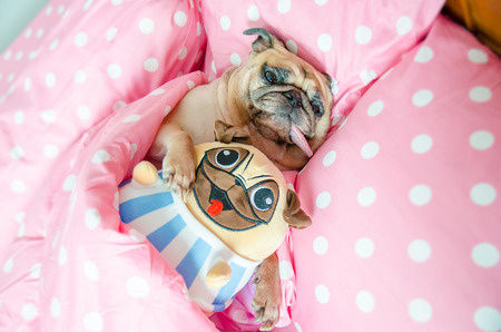 Attractive puppy pug dog sleeping rest well in bed hugging a baby dolls. Animal resting, good night sleep concept enjoys fresh soft bedding linen and mattress in a bedroom