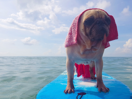 Surfing Dog, Happy Young Pug on Surf Board in the Sea