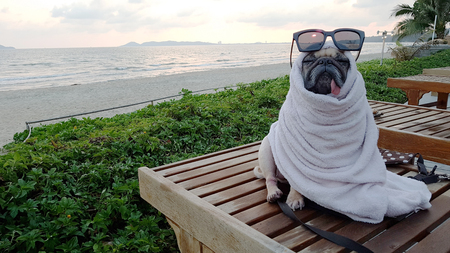 Cute Pug Dog Dries on a Beach After Swimming Wrap with a Towel Stock fotó