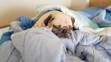 Small hound Pug dog sleeping at home on the bed covered with a blanket
