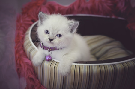 White persian shorthair kitten with blue eyes sitting on bed in a pink background looking at the camera Stock fotó