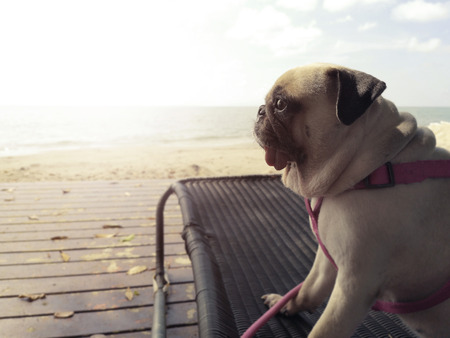 Pug pet dog relaxed looking sunset in a beach