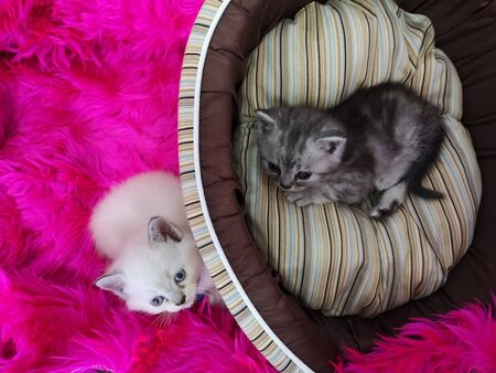 Two little kittens lying on pink fluffy blanket and pet bed (basket) Stock fotó