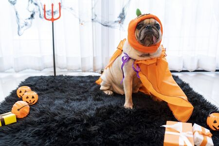 Cute pug dog with halloween costume party at home.