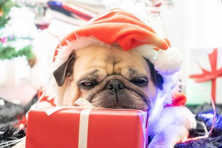Pug dog in Santa hat with the gift box and sock in background.