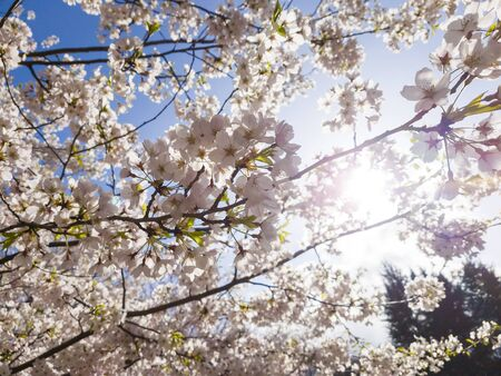 Branches of blossoming cherry against background of blue sky and sun light in spring time on nature outdoors. Pink sakura flowers, dreamy romantic artistic image of spring nature, copy space