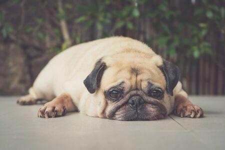 Funny Sleepy Pug Dog with gum in the eye sleep rest on floor. Stock fotó