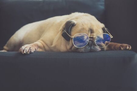Funny old pug dog  with glasses sleeping rest on modern black sofa in the living room. Tired and bored face in the lazy time Reklamní fotografie